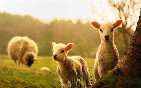farm animals wallpapers backgrounds