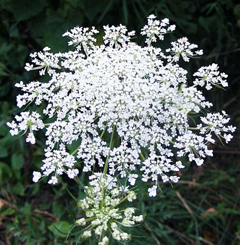 queen anne s lace flower picture perfect wedding pinterest