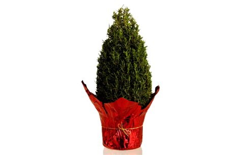 mini christmas trees are fragrant space savers