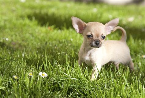 hypoglycemia in dogs signs of hypoglycemia in chihuahuas cuteness