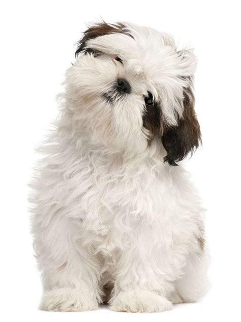 shih tzu puppy names best 25 names boy ideas on