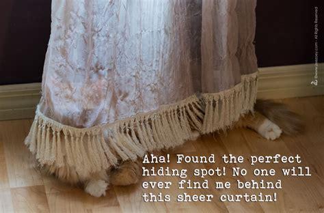 mew behind the drapes peekaboo i see mew and other hide and seek cat behaviors