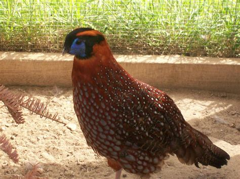 backyard pheasants pheasant thread backyard chickens