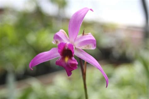 facts about orchids cattleya orchid facts images