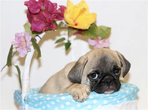 pugs available gorgeous carrier kc pugs available now brighton east sussex pets4homes