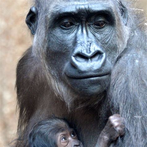 Eastern gorillas critically endangered from effects of war ...