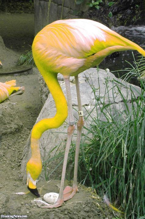 how do flamingos get their pink color 17 best ideas about flamingo color on