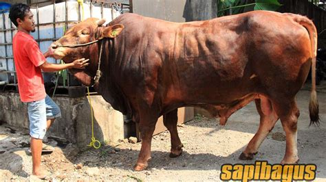 Jual Daging Sapi Impor 2018 by Promo Jual Sapi Qurban 2018 Sapibagus