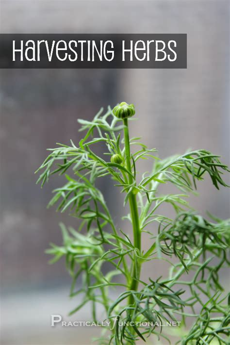 how to harvest your herbs herb garden series