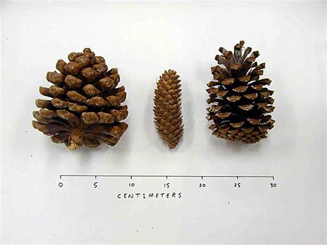 pics for gt vs pine cones