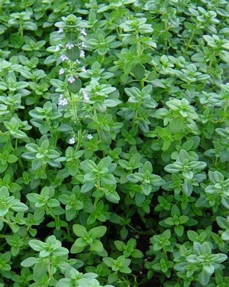 Thyme Herbs thymus vulgaris thyme medicinal culinary herbs