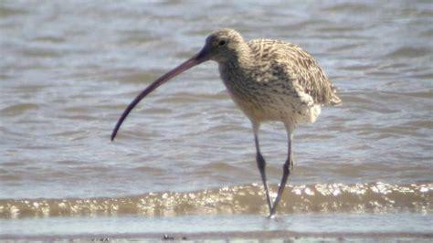 australia s migratory shorebirds at risk from asia s urban