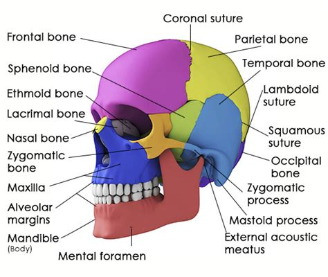diagram of cranial bones take a look at the structure and functions of the sphenoid