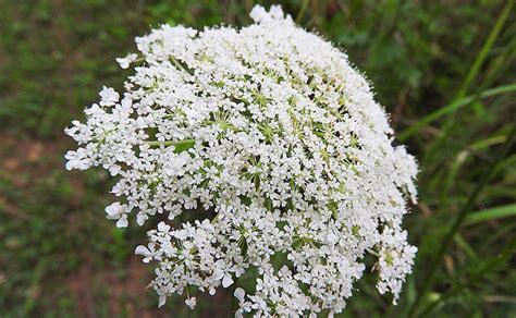 sambuco fiori fiori di sambuco colli euganei
