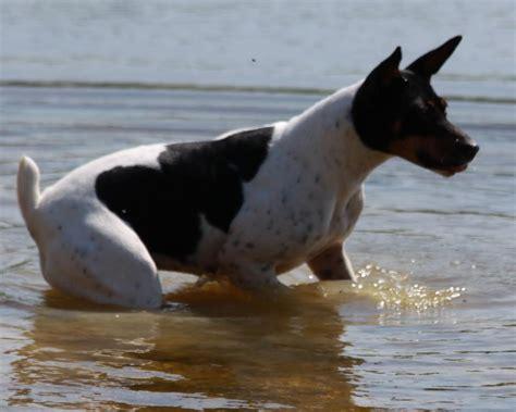 standard rat terrier puppies for sale seegmiller standard rat terriers rat terriers