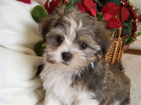 akc havanese breeders of merit kachina s havanese puppies for sale