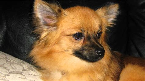 pomeranian with pomeranian mixed with chihuahua breeds picture