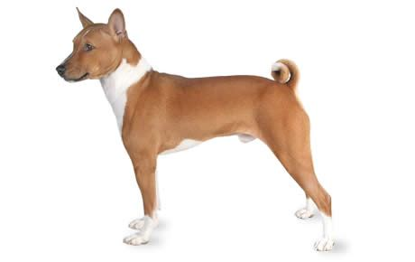 that doesn t bark the that doesn t bark the basenji pets nigeria