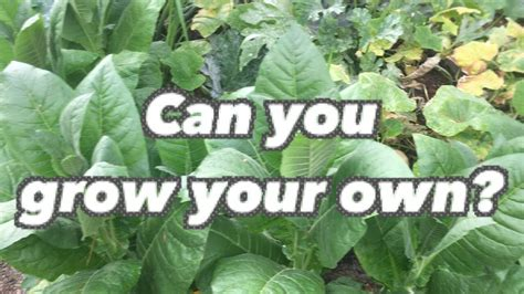 can you grow your own tobacco at home
