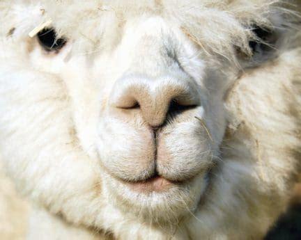 picture portrait animal llama wildlife alpaca