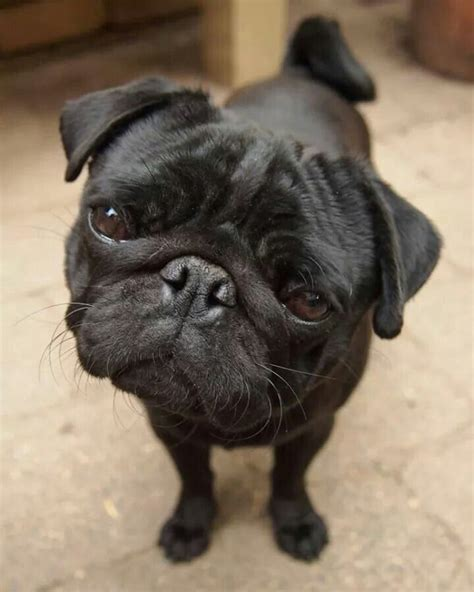 newborn pugs for adoption 17 best images about it s quot gravy quot on adoption puppys and blue great danes