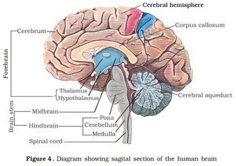 diagram of forebrain human neural system human brain pmf ias