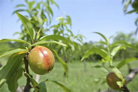 nectarine tree nectarine fruit thinning tips on thinning nectarine trees