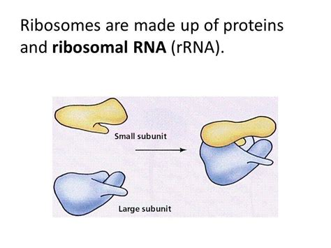 5 proteins made by ribosomes rna and protein synthesis ppt