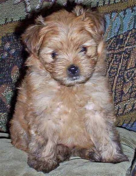 do teacup pomeranians shed a lot yorkie pomeranian mix shed 28 images do yorkie poms shed 52 images do yorkies shed