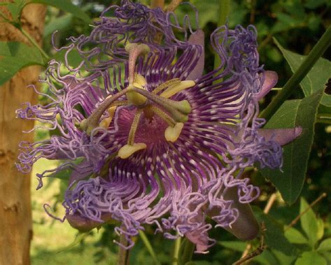 passion flower in zone 7 plants forum at permies