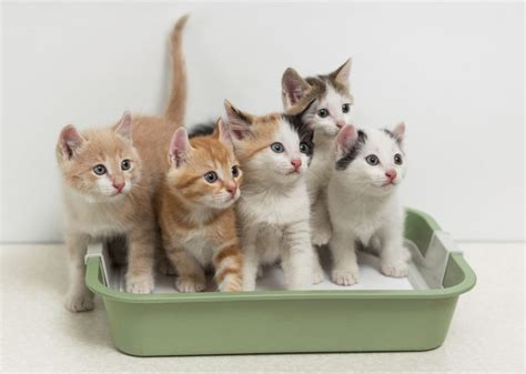 Litter Of Kitties by Why Does My Cat Kick Litter Out Of Their Litter Box
