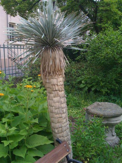 Yucca Palme Drau En 3170 by Palme F 252 R Garten Palme Im Garten Pflanzen Palme Im Garten