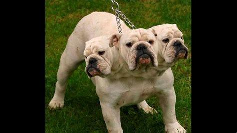 three dogs real three headed