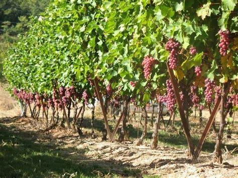 piantare uva da tavola piante di uva luva