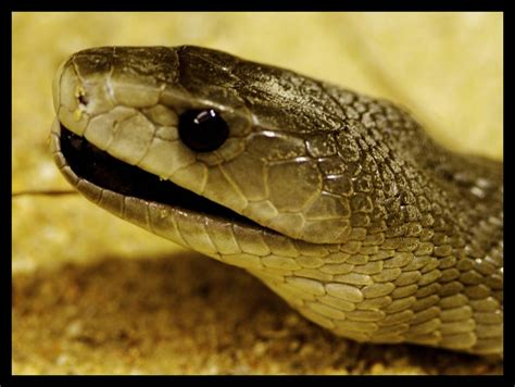 wallpaper black mamba snake top 16 most dangerous black mamba snake wallpapers in hd