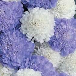 Bibit Bunga Babys Breath benih bunga murah jual bibit bunga murah