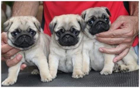how much is pug puppy pugpugpug