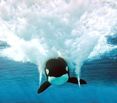 killer whales orcinus orca scientific classification