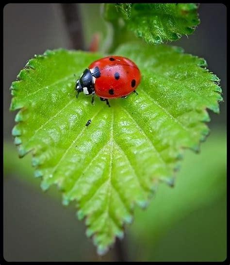 ladybug ladybug fly away home ladybug ladybug fly