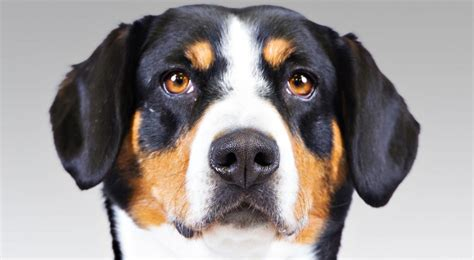 akc puppy breeders entlebucher mountain breed information american kennel club