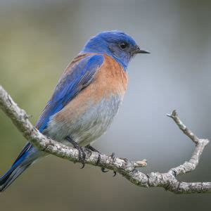 western bluebird facts diet habitat pictures on