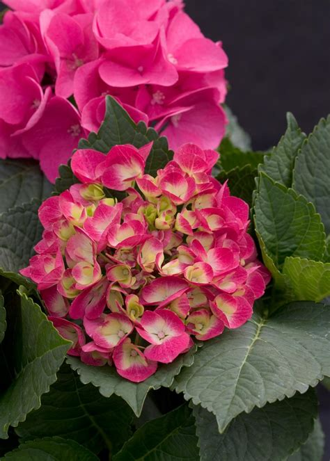 Strawberry Venice Black hydrangeas for containers hgtv