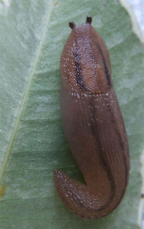 greenhouse slug naturespot
