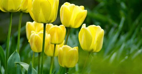 Bibit Bunga Tulip peluang bisnis budidaya bunga tulip