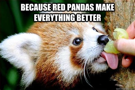 Red Panda Meme - red pandas are badass memes