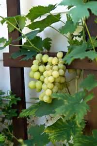 weintrauben im garten weinrebe im garten pflanzen 187 n 252 tzliche tipps zu anbau