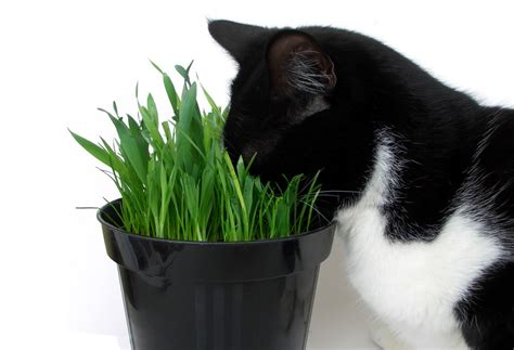 does catnip affect dogs why cats are for catnip wishforpets