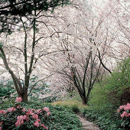 winter flowering cherry  pot prunus   autumnalis
