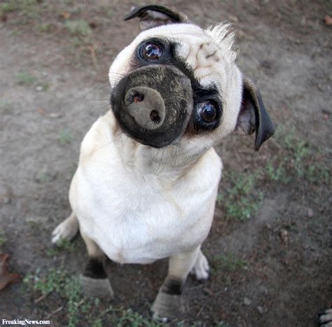 pug animal pug pig pictures freaking news