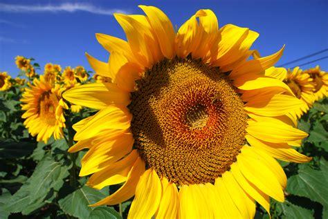 how to grow sunflowers how to grow stuff
